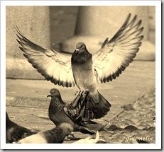piccioni20a20castelloud2