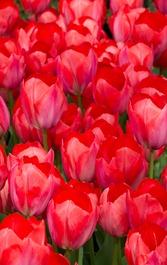 tulipsa