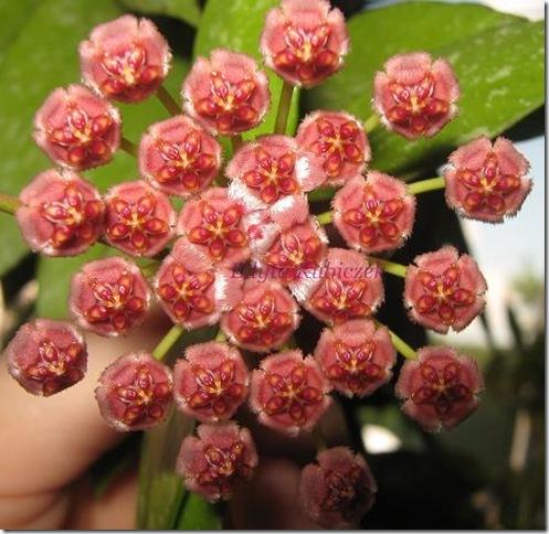 Hoya - gracilis (16)