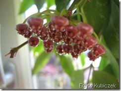 Hoya - gracilis (2)