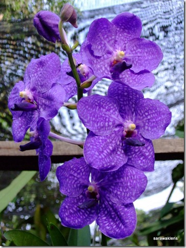 Vanda_Pachara_Delight_Blue_1