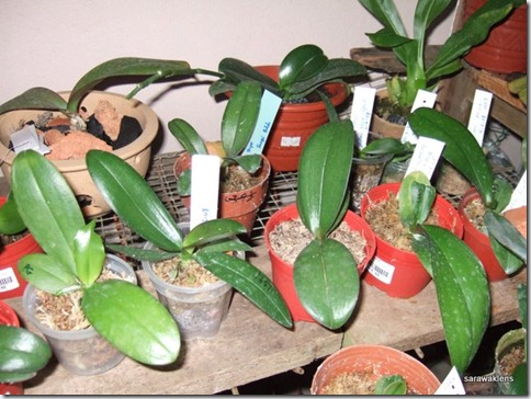 Phalaenopsis_seedlings (7)