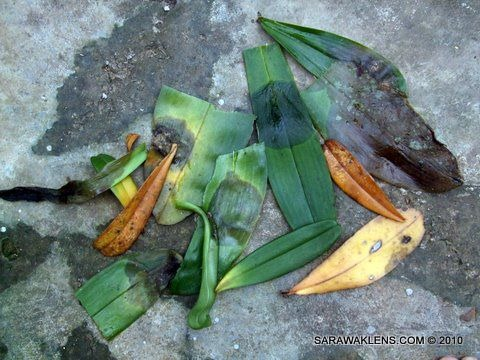 orchid_leaf_rot
