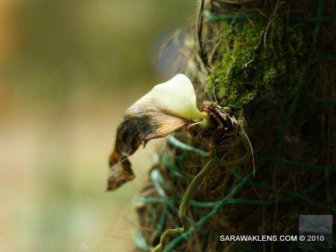 Phalaenopsis_bellina_rot