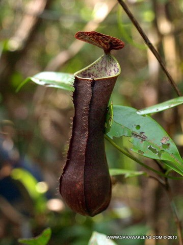 Nepenthes_gracilis_948