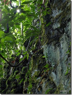 Paphiopedilum_stonei_in_natural_habitat_091120_01