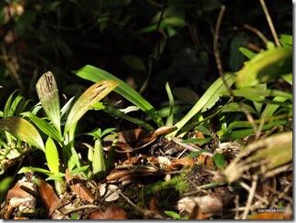 Paphiopedilum_stonei_in_natural_habitat_091120_12