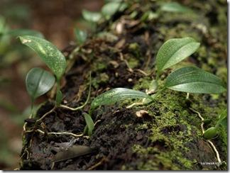 Bulbophyllum_reticulatum_4