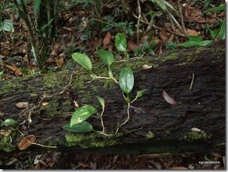 Bulbophyllum_reticulatum_2