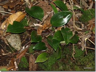 Bulbophyllum_reticulatum_6