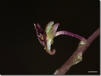 Jewel_orchid_Malaxis_3