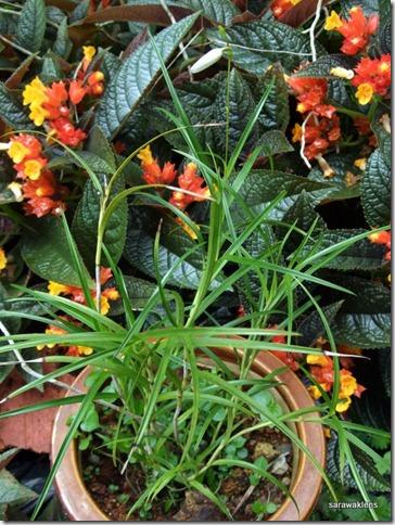 Arundina_graminifolia_mini_Vietnam