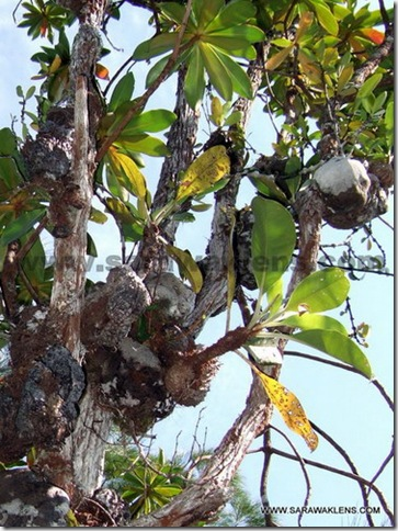 Myrmecodia_tuberosa_ant_plant_1