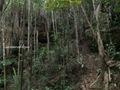 Teluk_Limau_trail_Bako_National_Park_37