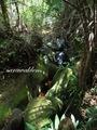 Teluk_Limau_trail_Bako_National_Park_64