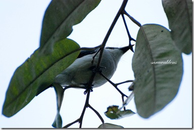 Black_winged_flycatcher_shrike_1
