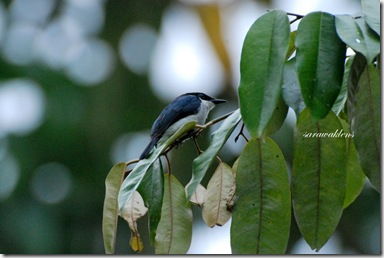 Black_winged_flycatcher_shrike_2