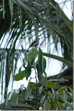 Black_winged_flycatcher_shrike_5