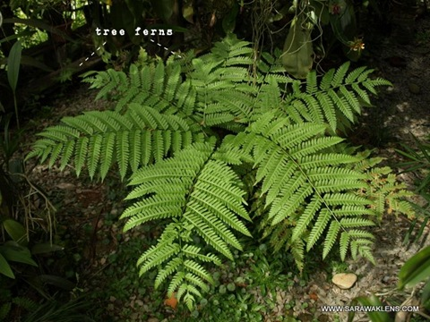 cyathea_tree_fern