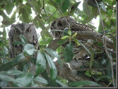 Look what the flooring guy found in the live oak tree in our front yard...two little owls!