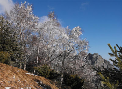 Cozia. Padure de mesteceni iarna