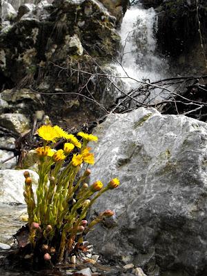 Muntii Mehedinti. Cascada Roset(Cociului). Flori de podbal