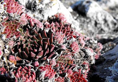 Muntii Cernei. Flori de munte
