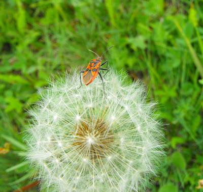 flori si insecte de primavara.insecte si papadia