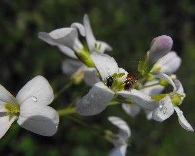 in padurea Cernica: doua insecte pe o floare alba