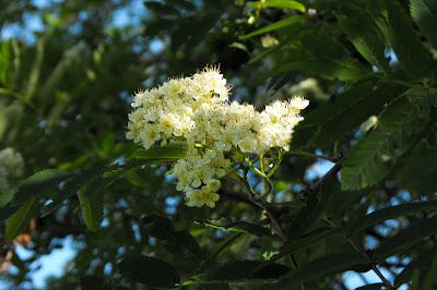 Piatra Craiului - copac inflorit