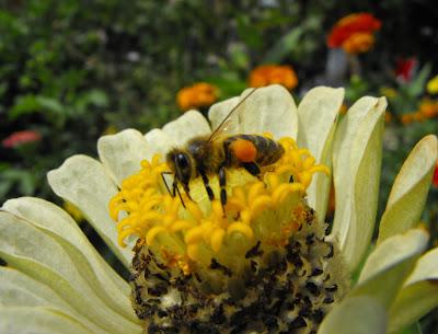 albinuta culegand polen