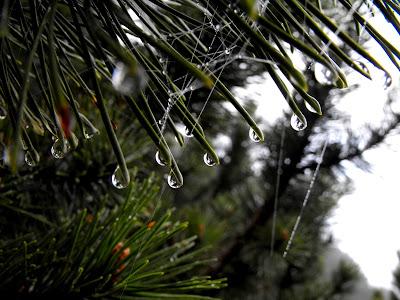 macro - picaturi de ploaie pe cetina de brad