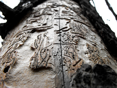 copac mancat de carii