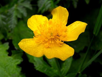 floare de ochiul-boului