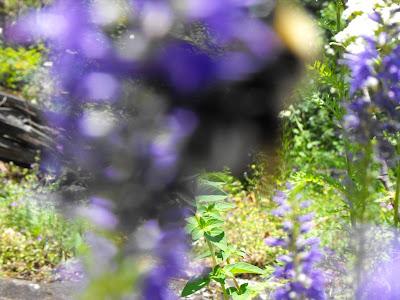 albastre flori de munte