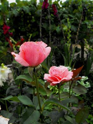 Tehomir. Trandafirii mamaiei
