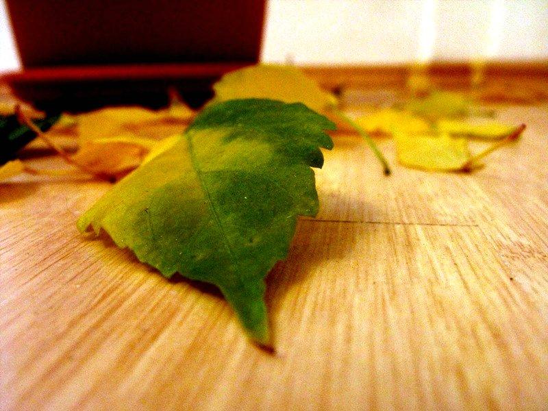 frunze moarte. trandafirul japonez