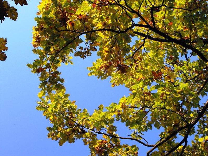 frunze galbene de stejar