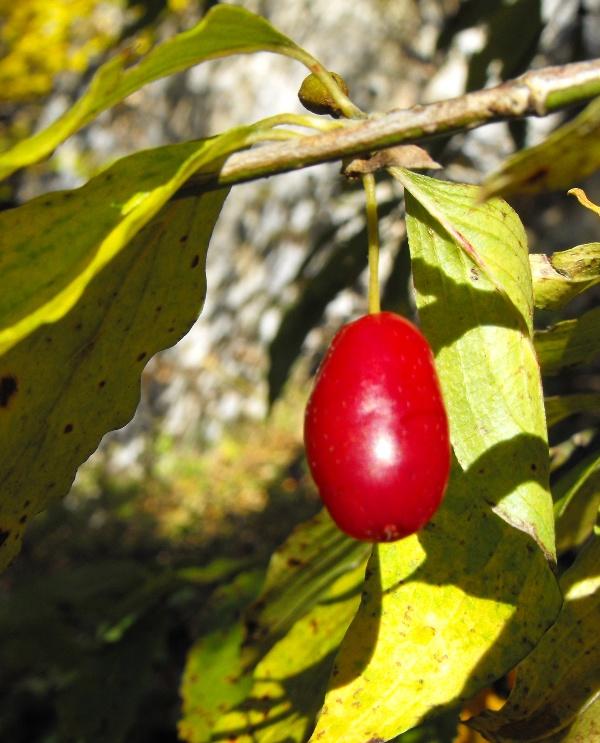 fructe de padure: corn