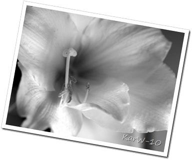 vit amaryllis 001