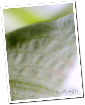 vit amaryllis 005