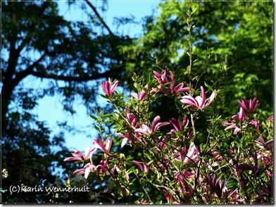MagnoliaträdLilaSofiero1