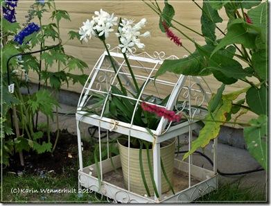 Växthusmkärlekslilja
