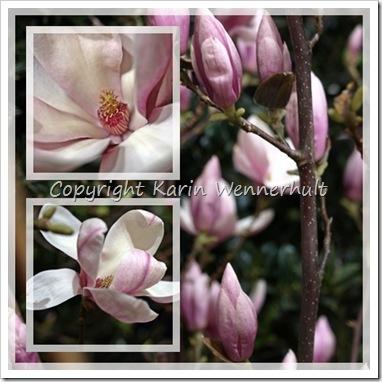 Magnolia3coll
