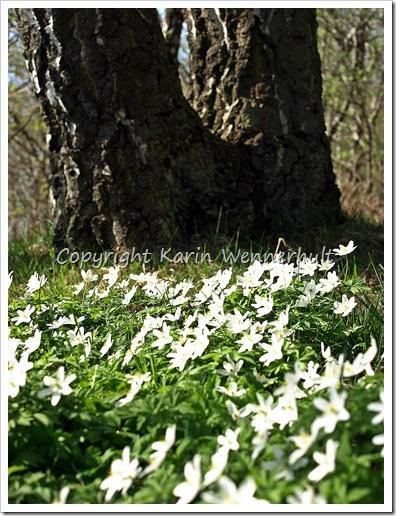 Sippornainvidträdet