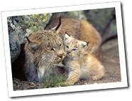 lynx-baby