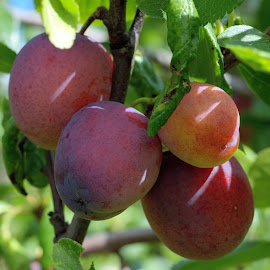 Opal plums from the garden by Fred Øie - Food & Drink Fruits & Vegetables ( nature, plums, fruits )