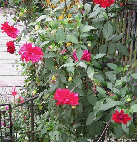 roses, cameron highlands