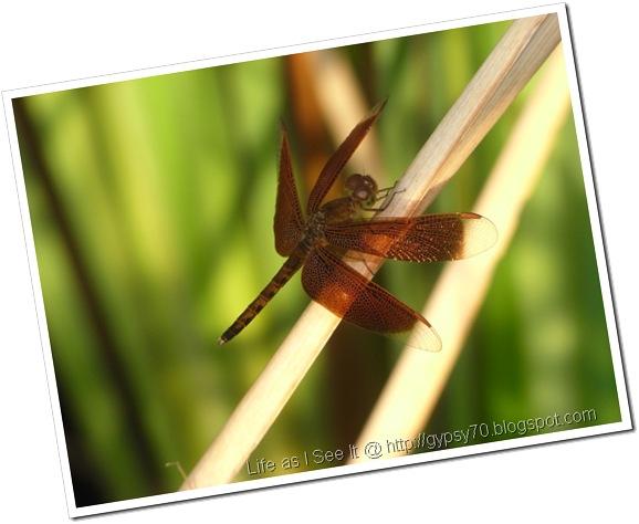 dragonfly-black1