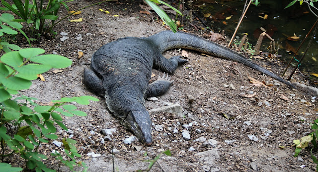 monitor lizard at Sungei Buloh